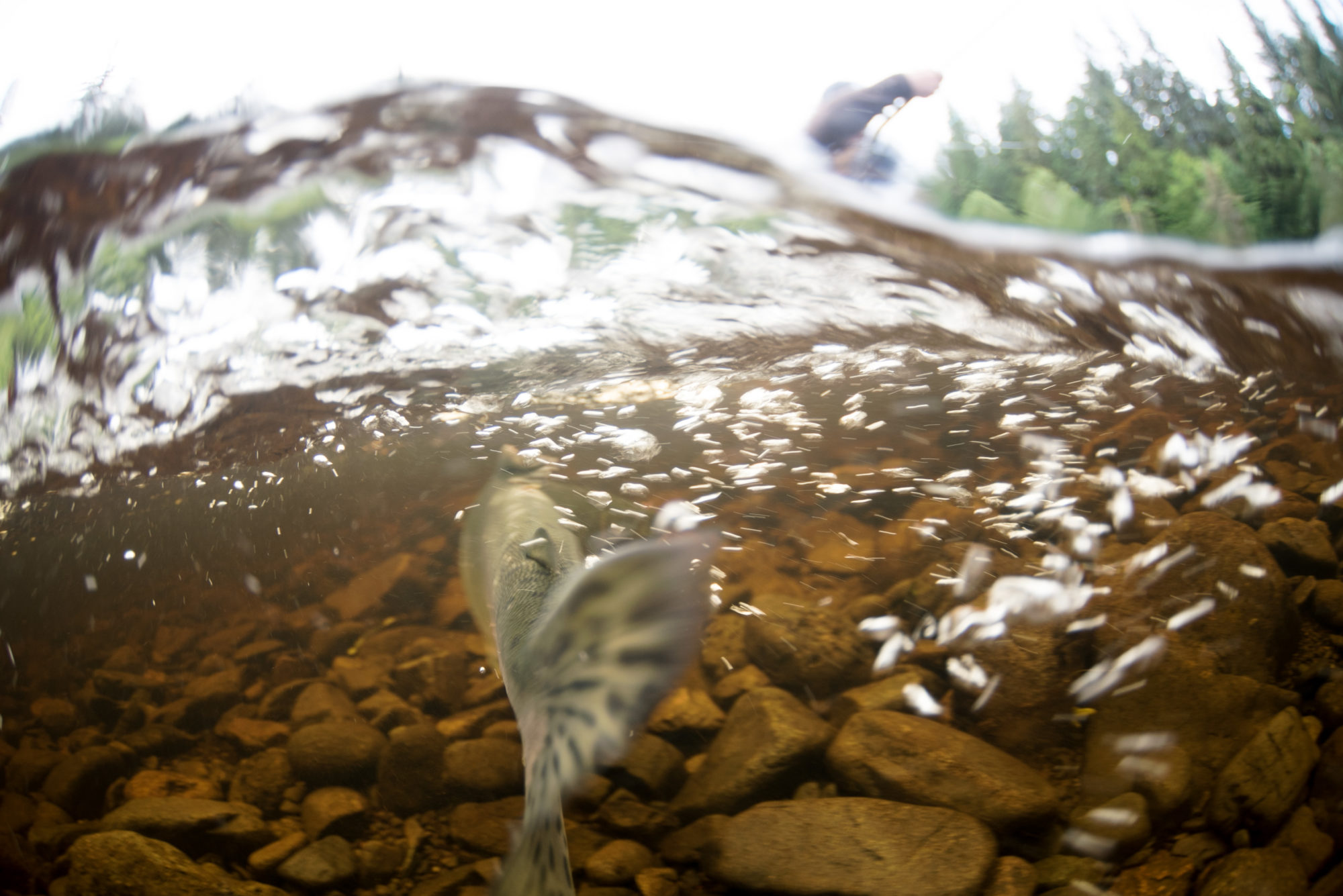 Walker Administration Rejects Salmon Protections, Weakens Law